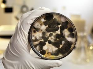 What Is Black Mold - Can Mold Make You Sick? Stachybotrys Chartarum AKA Black Mold In Petri Dish